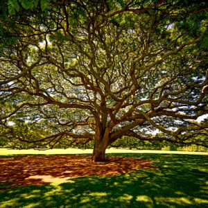 monkey pod tree fine art print nature green